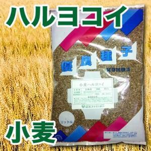 野菜の種/種子 小麦・ハルヨコイ/はるよこい 春よ恋 1kg|vg-harada