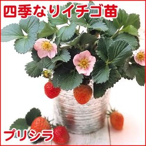 果物の苗 四季なりイチゴ プリシラ・いちご苗 4ポットセット|vg-harada