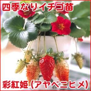 果物の苗 四季なりイチゴ 彩紅姫(アヤベニヒメ)いちご苗 4ポットセット|vg-harada
