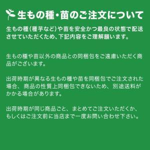 野菜・種/苗[春じゃがいも種芋]ノーザンルビー...の詳細画像2