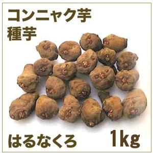 野菜・種/苗 はるなくろ 2年子/コンニャク芋 こんにゃく 種芋・生もの種 約1kg|vg-harada