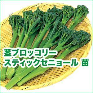 野菜の苗 スティックセニョール・茎ブロッコリー 自根苗 4本セット/9cmポット入り |vg-harada
