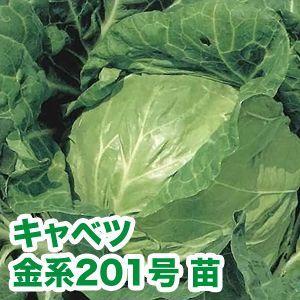 野菜の苗 金系201号・キャベツ 苗 4本セット/9cmポット入り |vg-harada
