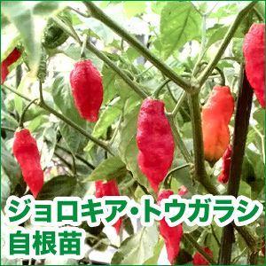 野菜の苗 ジョロキア・トウガラシ 自根苗 2ポット入りセット/9cmポット |vg-harada