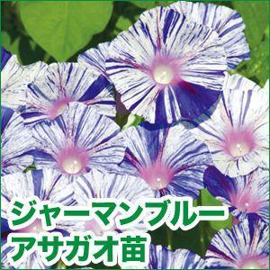 花の苗 ドイツ朝顔/ジャーマンブルー・アサガオ 苗 4ポット入りセット/9cmポット 緑のカーテン/みどりのカーテン |vg-harada