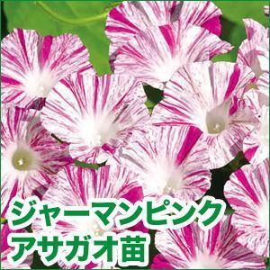 花の苗 ドイツ朝顔/ジャーマンピンク・アサガオ 苗 2ポット入りセット/9cmポット 緑のカーテン/みどりのカーテン|vg-harada
