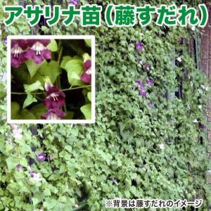 花の苗 アサリナ/藤すだれ 苗 2ポット入りセット 9cmポット 緑のカーテン/みどりのカーテン|vg-harada