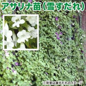 花の苗 アサリナ/雪すだれ 苗 2ポット入りセット 9cmポット 緑のカーテン/みどりのカーテン|vg-harada