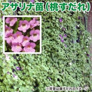花の苗 アサリナ/桃すだれ 苗 2ポット入りセット 9cmポット 緑のカーテン/みどりのカーテン|vg-harada