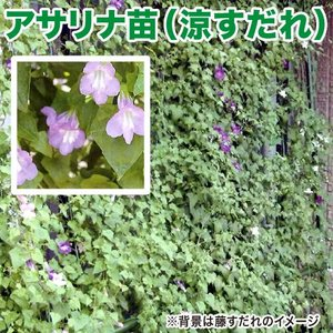 花の苗 アサリナ/涼すだれ 苗 4ポット入りセット 9cmポット 緑のカーテン/みどりのカーテン|vg-harada