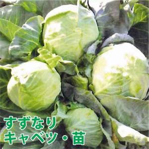 野菜の苗 すずなりキャベツ・キャベツ 苗 4ポット入りセット/9cmポット|vg-harada