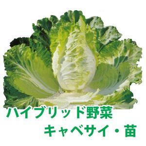 野菜の苗 ハイブリッド野菜・キャベサイ/キャベツ・ハクサイ 苗 4ポット入りセット/9cmポット|vg-harada
