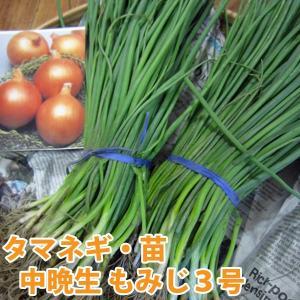 野菜の苗 中晩生 もみじ3号 タマネギ 玉葱苗  玉ねぎ 100本入