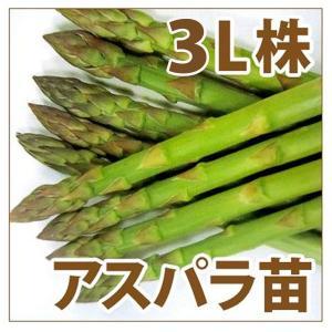 野菜の苗 ウェルカム アスパラガス苗・アスパラ苗 超特大3L株/素掘り株|vg-harada
