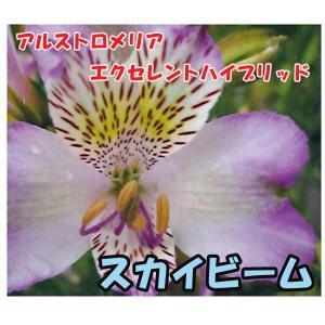 花の苗 アルストロメリア エクセレントハイブリッド スカイビーム/1ポット/10.5cmポット/鉢植え/花壇/切り花/宿根 花苗(4月上旬より順次発送)|vg-harada