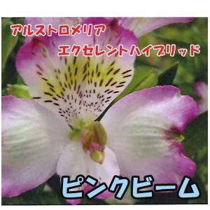 花の苗 アルストロメリア エクセレントハイブリッド ピンクビーム/1ポット/10.5cmポット/鉢植え/花壇/切り花/宿根 花苗(4月上旬より順次発送)|vg-harada