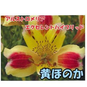 花の苗 アルストロメリア エクセレントハイブリッド 黄ほのか/1ポット/10.5cmポット/鉢植え/花壇/切り花/宿根 花苗(4月上旬より順次発送)|vg-harada