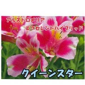 花の苗 アルストロメリア エクセレントハイブリッド クイーンスター/1ポット/10.5cmポット/鉢植え/花壇/切り花/宿根 花苗|vg-harada