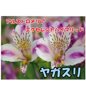 花の苗 アルストロメリア エクセレントハイブリッド ヤガスリ/1ポット/10.5cmポット/鉢植え/花壇/切り花/宿根 花苗(4月上旬より順次発送)|vg-harada