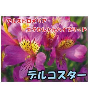 花の苗 アルストロメリア エクセレントハイブリッド デルコスター/1ポット/10.5cmポット/鉢植え/花壇/切り花/宿根 花苗(4月上旬より順次発送)|vg-harada