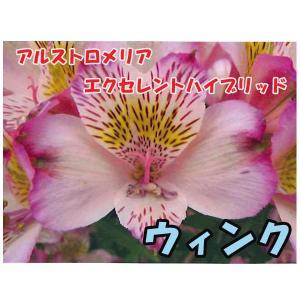 花の苗 アルストロメリア エクセレントハイブリッド ウィンク/1ポット/10.5cmポット/鉢植え/花壇/切り花/宿根 花苗(4月上旬より順次発送)|vg-harada