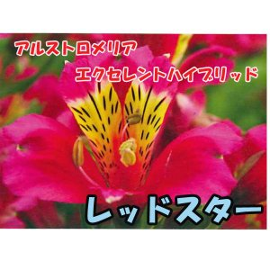花の苗 アルストロメリア エクセレントハイブリッド レッドスター/1ポット/10.5cmポット/鉢植え/花壇/切り花/宿根 花苗(4月上旬より順次発送)|vg-harada