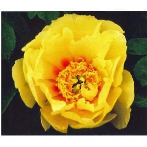 花の苗 芍薬 蕾付き/1ポット/21cmポット(7号)/鉢植え/花壇/オリエンタルゴールド(4月上旬より順次発送)|vg-harada