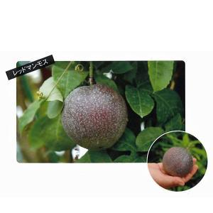 花の苗 パッションフルーツ レッドマンモス/2ポットセット/9mポット(3号)/鉢植え/花壇/食用 緑のカーテン|vg-harada