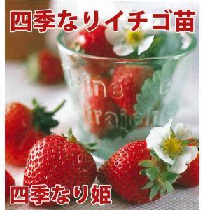 果物の苗 四季なりイチゴ 四季なり姫 いちご苗 4ポットセット|vg-harada