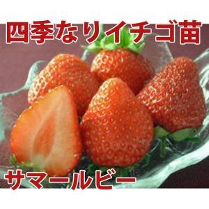 果物の苗 四季なりイチゴ サマールビー いちご苗 4ポットセット|vg-harada