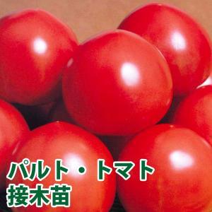 野菜の苗 パルト・トマト 接木苗 4ポット入りセット |vg-harada