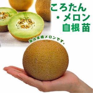 野菜の苗 ころたん・メロン コロタン 自根苗 4ポット入りセット |vg-harada