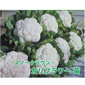 野菜の苗 スノークラウン カリフラワー  苗 4ポット入りセット/9cmポット|vg-harada