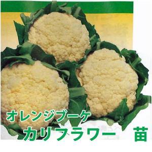 野菜の苗 オレンジブーケ・カリフラワー  4本セット/9cmポット入り |vg-harada