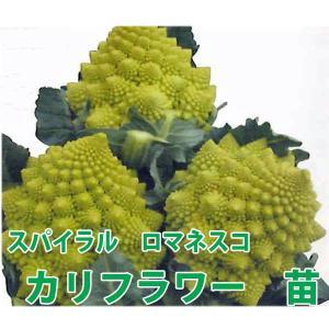野菜の苗 スパイラル ロマネスコ  カリフラワー苗 4ポットセット/9cmポット入り |vg-harada