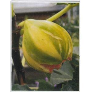 花の苗 イチジク 苗木 ゼブラスイート/1ポット/12cmポット(4号)/鉢植え/花壇/食用|vg-harada