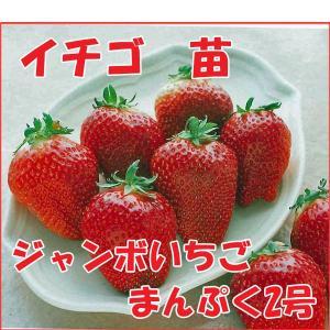 果物の苗 ジャンボいちご まんぷく2号 イチゴ ・いちご苗 4ポットセット|vg-harada