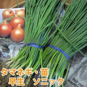 野菜の苗  早生 ソニック玉葱・タマネギ 100本入|vg-harada