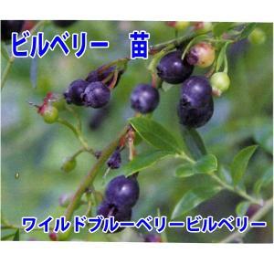 花の苗 ビルベリー苗 ワイルドブルーベリービルベリー/1ポット/15cmポット/鉢植え/花壇/食用|vg-harada