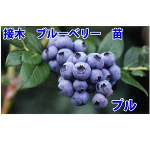 花の苗 接木ブルーベリー苗 プル/1ポット/24cmポット/鉢植え/花壇/食用|vg-harada
