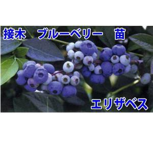 花の苗 接木ブルーベリー苗 エリザベス/1ポット/24cmポット/鉢植え/花壇/食用|vg-harada