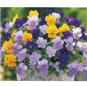 花の苗 ビオラ  ビビトリコロール 3色ミックス植え シルキータッチ/2ポットセット/10.5cmポット/鉢植え/花壇/ハンギング vg-harada