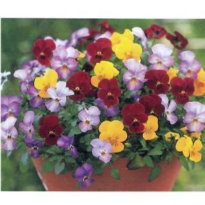 花の苗 ビオラ ビビトリコロール 3色ミックス植え スイングドール/2ポットセット/10.5cmポット/鉢植え/花壇/ハンギング vg-harada