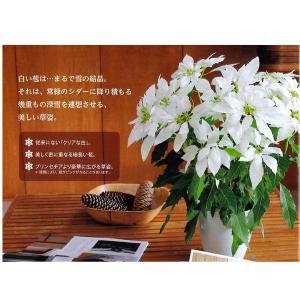 数量限定!送料無料 花の苗 鉢花 プリンセチア クリスタルスノー 5号鉢/1ポット 花苗 サントリー|vg-harada