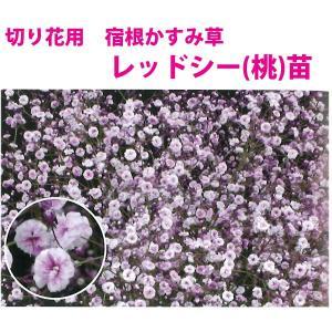 花の苗 切り花用 宿根かすみ草,レッドシー(桃)/2ポット入り/9cmポリポット 花苗|vg-harada