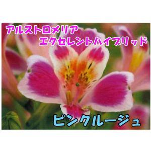 花の苗 アルストロメリア エクセレントハイブリッド ピンクルージュ/1ポット/10.5cmポット/鉢植え/花壇/切り花/宿根 花苗(4月上旬より順次発送)|vg-harada
