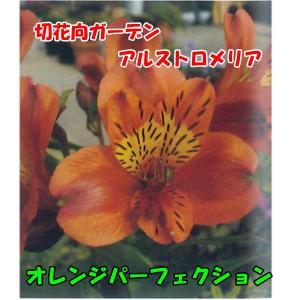 花の苗 切花向けガーデン アルストロメリアオレンジパーフェクション,/1ポット/10.5cmポット/鉢植え/花壇/切り花/宿根 花苗|vg-harada