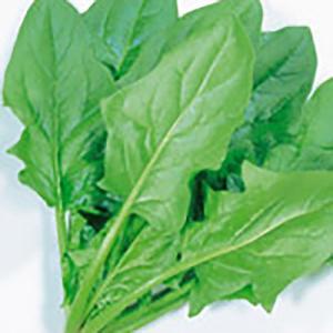 野菜の種/種子 ソロモン おてがるほうれん草・ほうれんそう 30ml (メール便可能)サカタのタネ|vg-harada