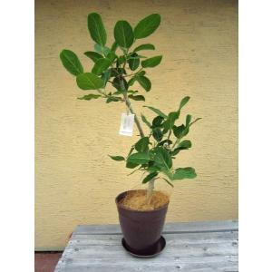 観葉植物 ベンガレンシス 鉢花 8号 インテリアプランツ エコ|vg-harada