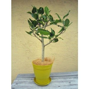 観葉植物 ベンガレンシス 鉢花 イエロー 8号 インテリアプランツ エコ|vg-harada